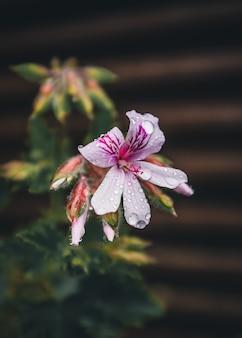 Pétalas de flores brancas e roxas com gotas de chuva
