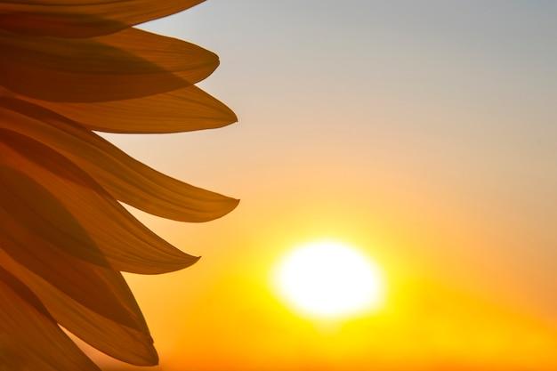 Pétalas de flores de um close-up de girassol nos raios de sol no contexto do céu. agricultura e agroindústria