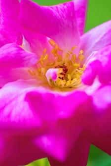 Pétalas de flores e estames de rosas com fundo desfocado pela manhã
