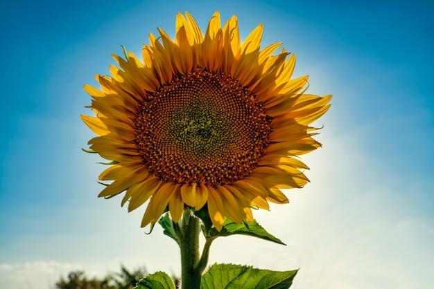 Pétalas de girassol em frente ao sol em um belo dia nos campos de castilla la mancha, espanha