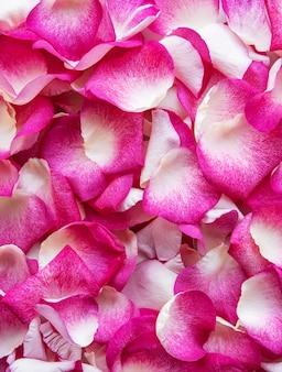 Pétalas de rosa cor de rosa