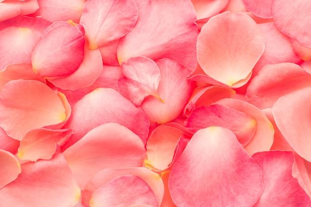 Pétalas de rosa rosa de textura