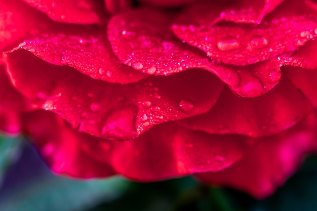 Pétalas de rosa vermelhas, cobertas de orvalho, de manhã no jardim