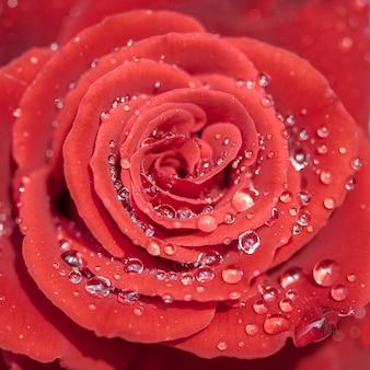 Pétalas de rosa vermelhas com chuva gotas closeup. rosa vermelha.
