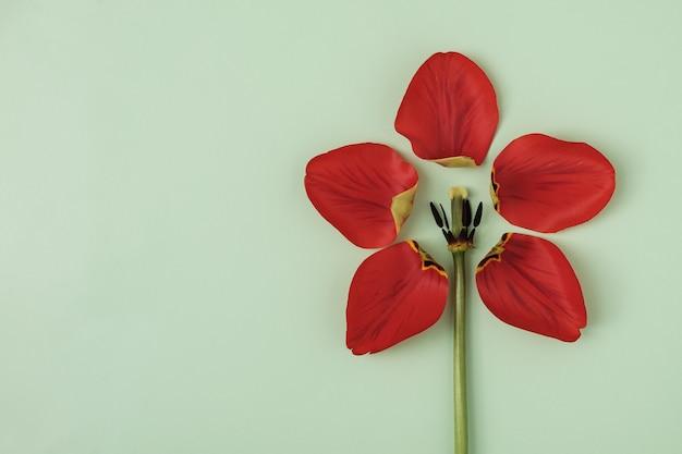 Pétalas de tulipas arrancadas em um fundo verde são dispostas na forma de outra flor e espaço de cópia. conceito criativo mínimo para a primavera e evento festivo ou convite de aniversário.