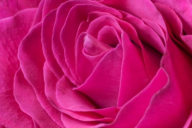 Pétalas de um close up rosa vermelha fresca