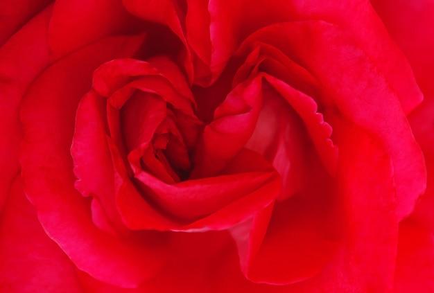 Pétalas em um botão de rosa vermelha vista superior