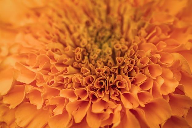 Pétalas laranja de calêndula africana