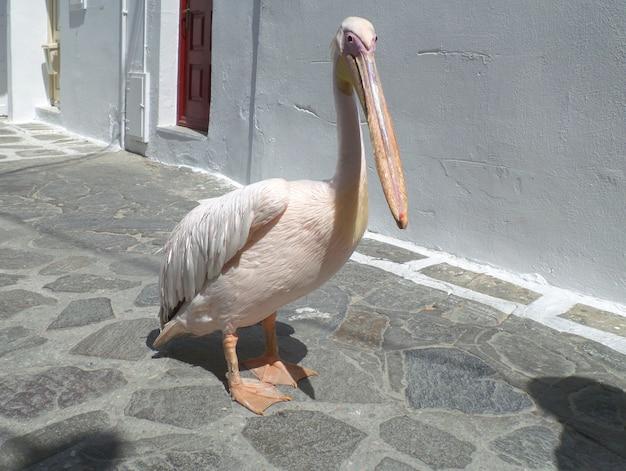 Petro ou peter the pelican, famoso pelicano da cidade de mykonos