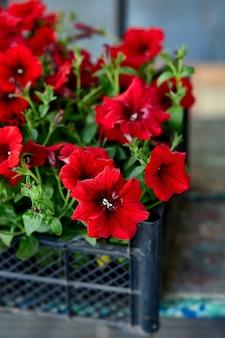 Petúnia flores no centro de jardim de caixas de plástico preto. caixas com mudas de flores de petúnia para plantio ao ar livre. trabalho de jardim.