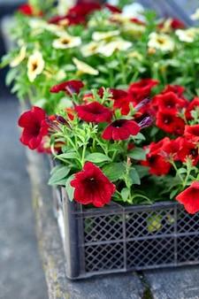 Petúnia flores no centro de jardim de caixas de plástico preto. caixas com mudas de flores de petúnia para plantio ao ar livre.