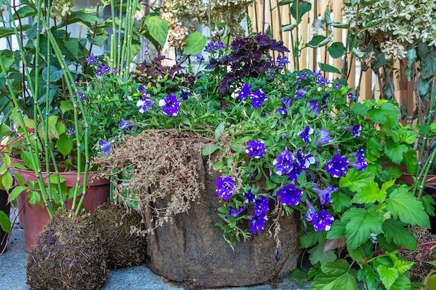 Petúnia (petun - tabaco) é um gênero de plantas perenes herbáceas ou semi-arbustivas da família solanaceae em sacos ecológicos. florescendo no jardim rosa em um dia ensolarado de verão