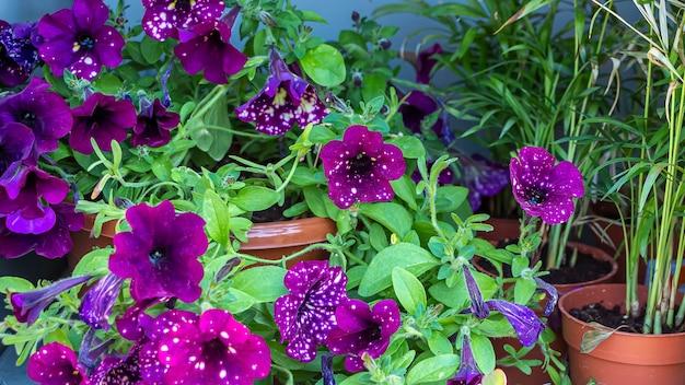 Petúnia (petun - tabaco) é um gênero de plantas perenes herbáceas ou semi-arbustivas da família solanaceae. florescendo no jardim rosa em dia ensolarado de verão.