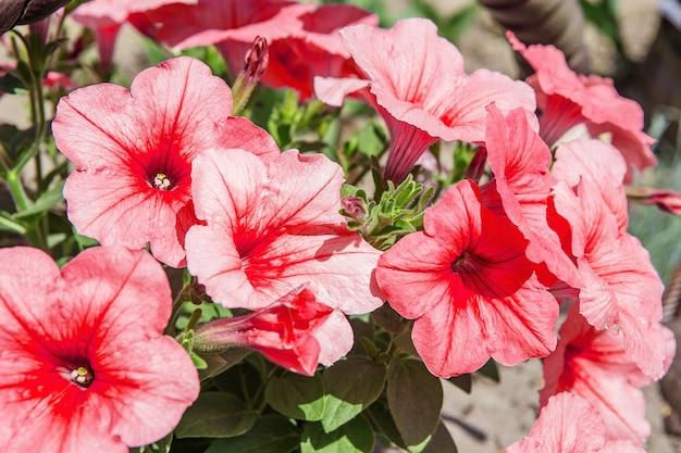 Petúnias rosa linda petúnia hybrida em paisagismo de jardim