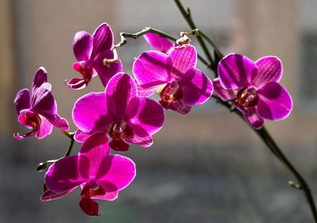 Phalaenopsis. orquídea rosa florescendo em casa Foto Premium