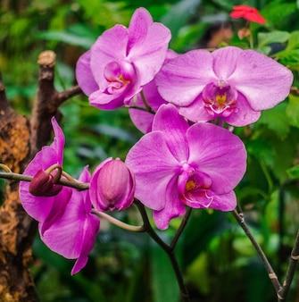 Phalaenopsis, orquídea violeta