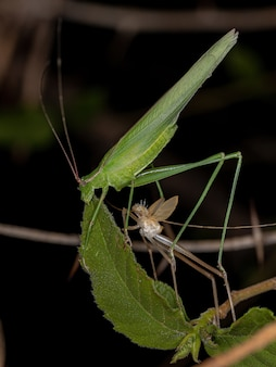 Phaneropterine katydid adulto da tribo aniarellini recém-amadurecido