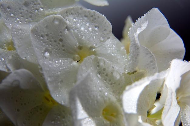 Phlox branco com gotas de água