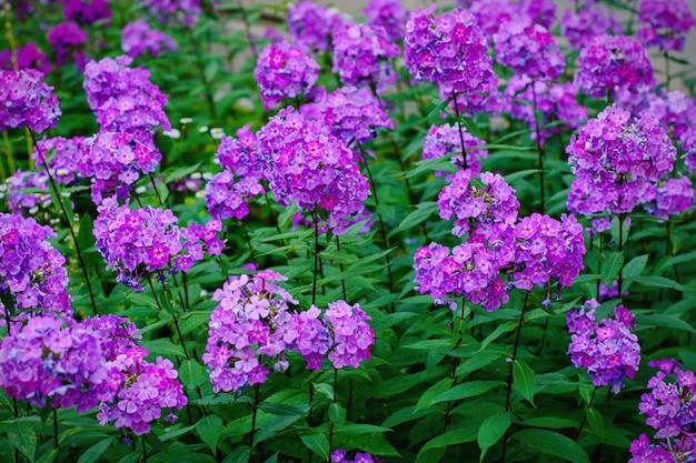 Phlox roxo jardim (phlox paniculata), flores de verão vivas