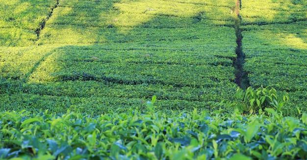 Photoshoot natural do jardim de chá