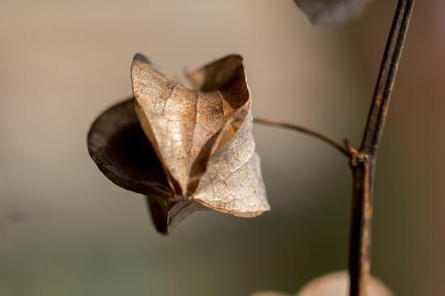 Physalis angulata é seco, outro tipo de erva tailandesa que é encontrado ao longo do caminho.