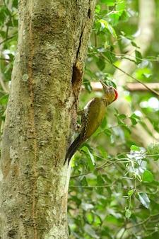 Pica-pau atado na árvore na floresta