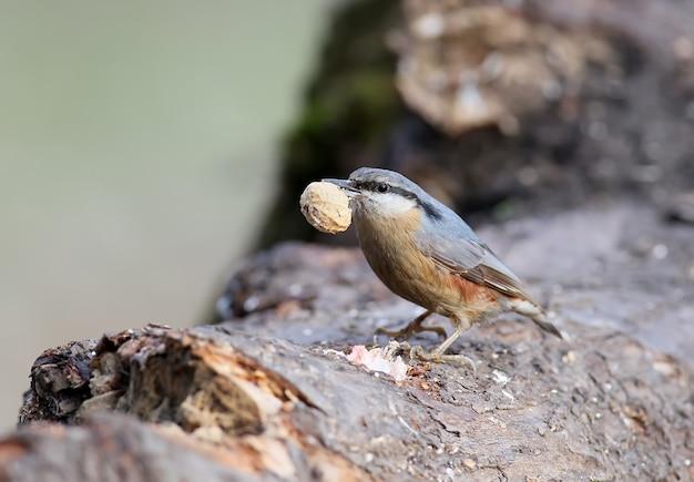Pica-pau-cinzento com uma casca de amendoim vazia no bico repousa sobre um grande tronco