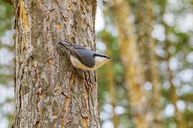 Pica-pau-cinzento no pequeno pássaro da floresta no habitat preferido.