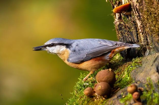 Pica-pau-cinzento segurando uma semente de girassol em um bico no jardim durante a primavera.