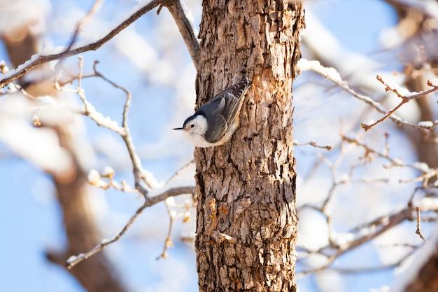 Pica-pau-de-peito-branco no tronco de árvore no inverno