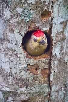 Pica-pau dentro de casa em uma árvore seca
