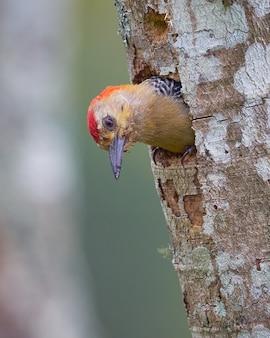 Pica-pau dentro de sua casa em uma árvore seca