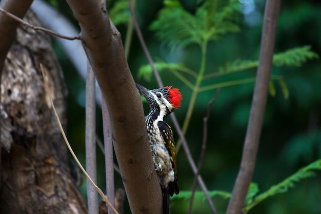Pica-pau-flameback maior (chrysocolaptes guttacristatus) no tronco da árvore
