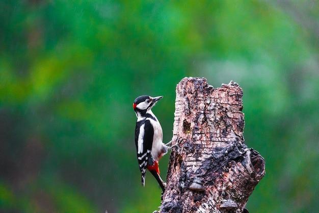 Pica-pau-malhado grande em uma floresta de primavera