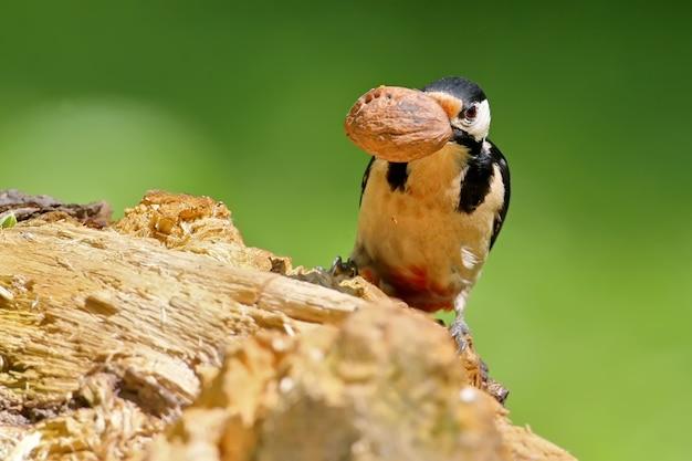 Pica-pau-malhado macho no alimentador