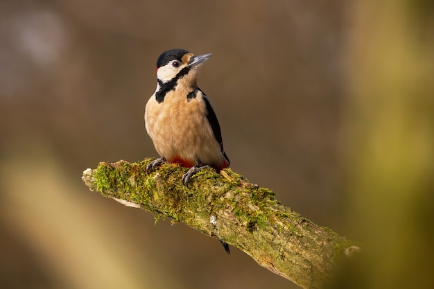 Pica-pau-malhado sentado em um galho coberto de musgo na primavera
