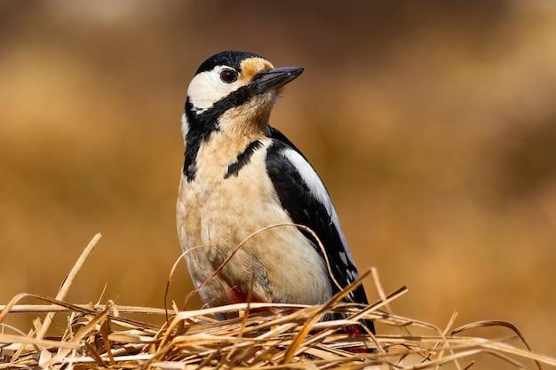 Pica-pau-malhado sentado na grama seca