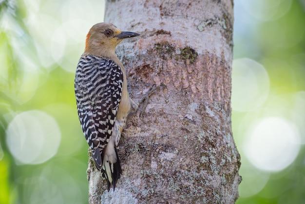 Pica-pau segurando em uma árvore enquanto procura por comida em sua casca