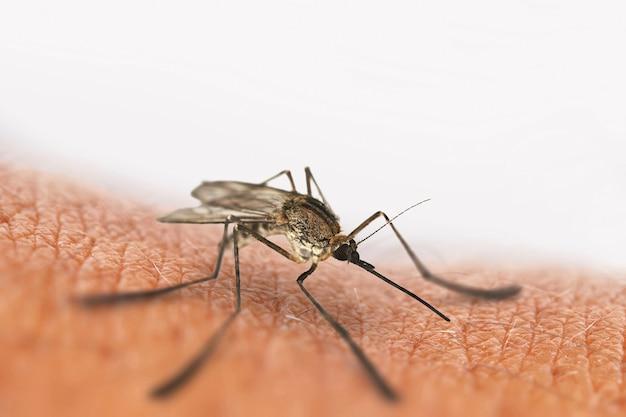 Picada de mosquito isolada no branco
