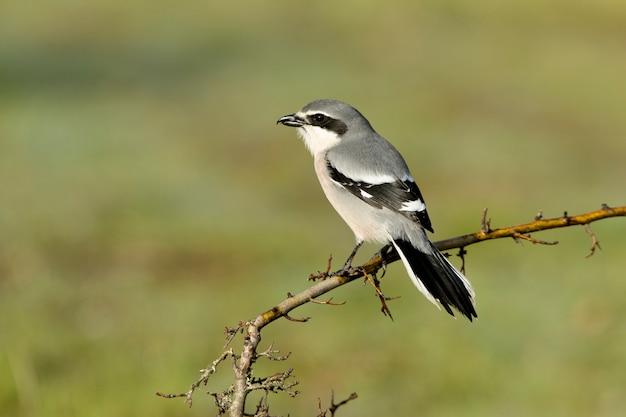 Picanço cinza meridional com plumagem de estação de acasalamento em seu território de reprodução em um de seus poleiros favoritos com a primeira luz do dia