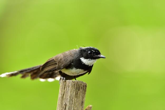Pied fantail flycatcher