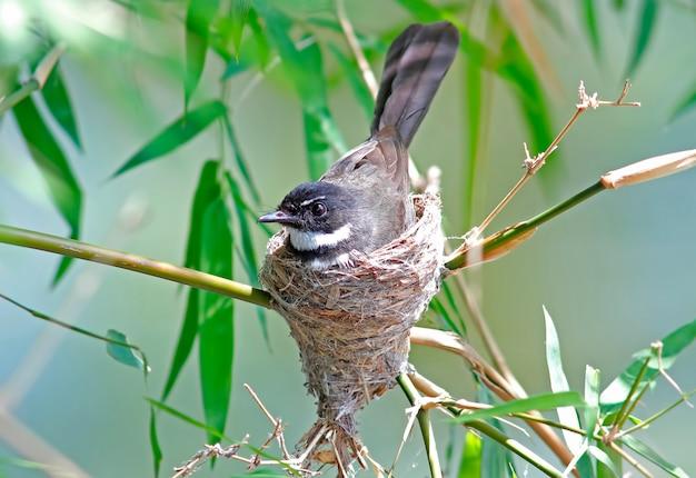 Pied fantail rhipidura javanica belas aves da tailândia no ninho