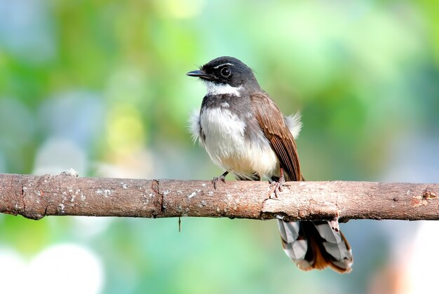 Pied fantail rhipidura javanica belas aves da tailândia