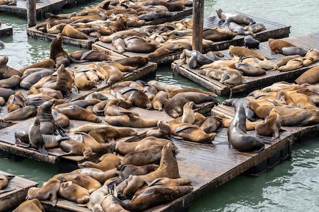 Pier 39 em san francisco com leões-marinhos