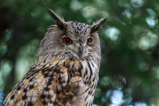 Piercing look owl. escute os sons.