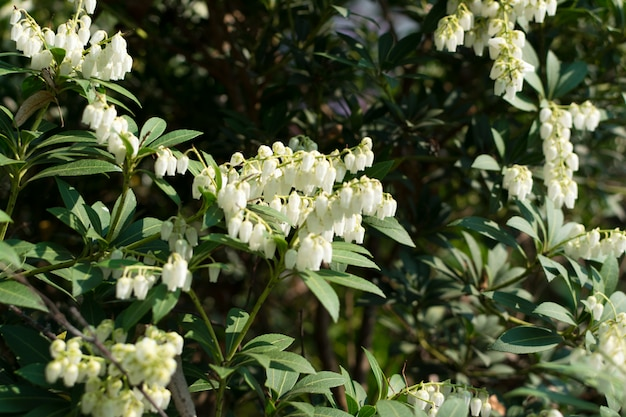 Pieris formosa, andromedas, fetterbushes ou pieris japonica