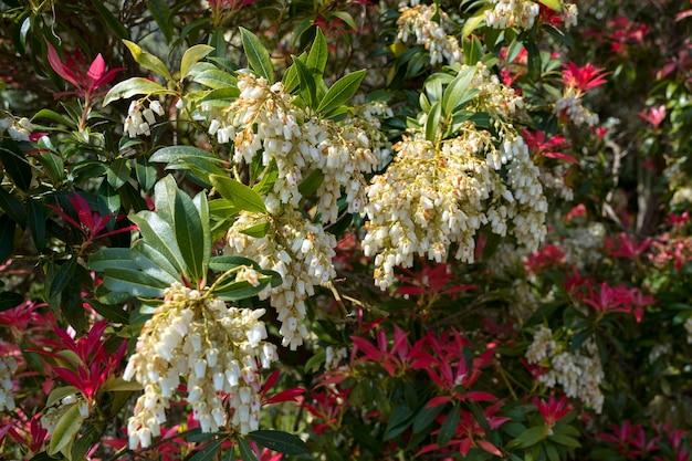 Pieris formosa (forest flame) florescendo na primavera em east grinstead