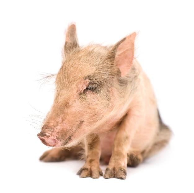 Pigglet isolado, essas fotos foram tiradas no benin, sua coloração vermelha vem da argila local como poeira.