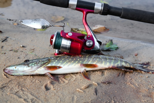 Pike pegou girando, encontra-se nas margens do rio.