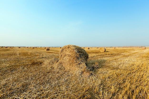 Pilha de palha no campo campo agrícola em que empilhados palheiros após a colheita do trigo